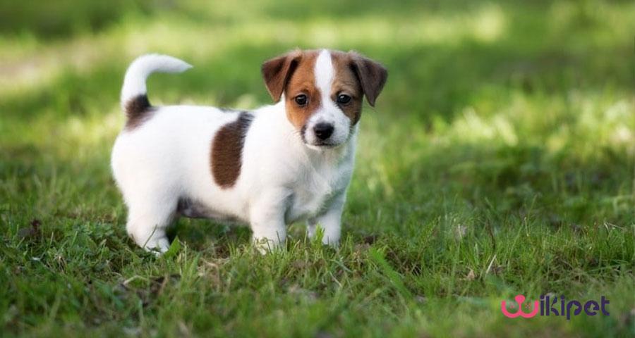 سگ ها تا چه سنی رشد می کنند؟