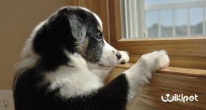 استرس جدایی در سگ ها